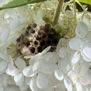 ピラミッドアジサイに蜂の巣。