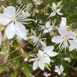ガウラが咲く頃の紫蘇ジュース。