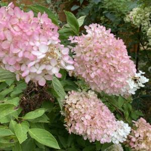 首を垂れるミナヅキの花。