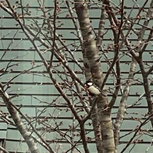 桜にシジュウカラ。