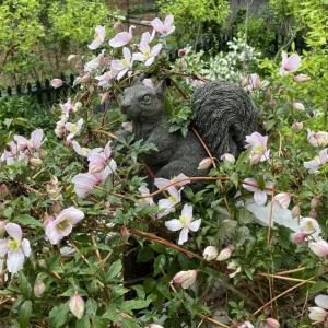 クレマチス モンタナの開花は例年並み。