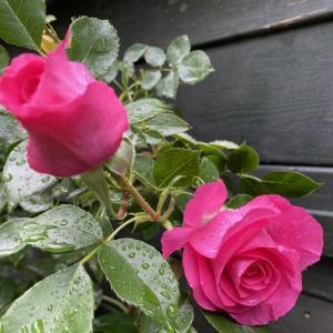 パレードがバラの開花いちばん宣言。
