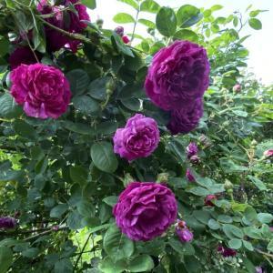 名前もカッコいいバラ、ジプシーボーイ。