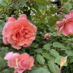 バラ サンセットグロウの香りがいい時間。
