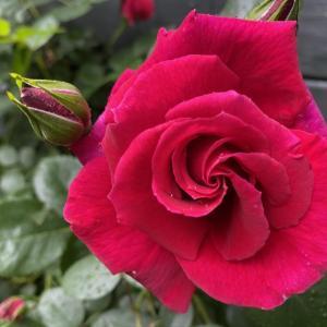 ラブストラック、恋に夢中というバラ。