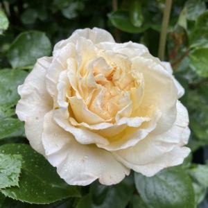 アンティークタッチのバラ、ラ・ペルラ。