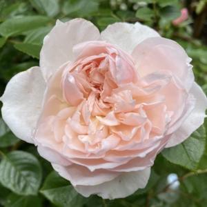 ソフトピンクのバラ、ザ・ジェネラス・ガーデナー。