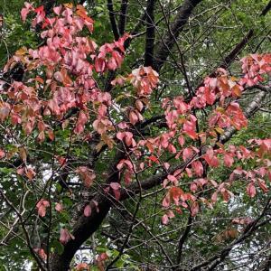 8月の紅葉桜。