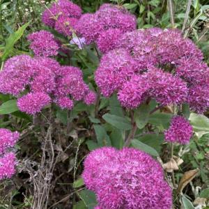 好奇心で植えた花?紫弁慶草。