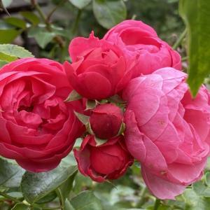 アンジェラが喜寿を祝って咲いてます。