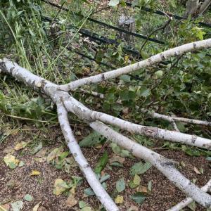 あっと言う間に消えた白樺の木。