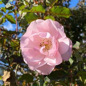 トゲのないバラ、ヨハンナレプケ。