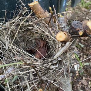 鳥のお役に立っていたエゾノコリンゴ。