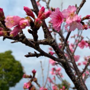 桜咲いてる(*^^*)