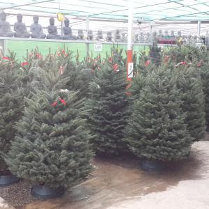 完売続出。今年は特に入手困難な生木のクリスマスツリー
