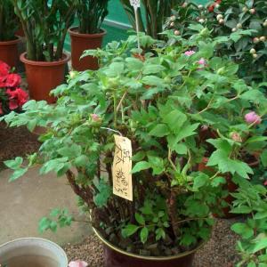 旧正月の植物⑧シャクヤク