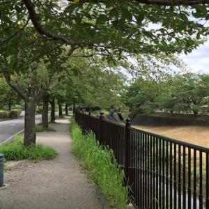 みなみ野散歩(兵衛川の並木道)2
