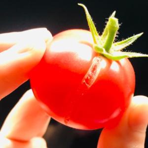 おおざっぱなプランター菜園初心者が大玉トマトを育ててみた〜全て収穫、また来年?!〜