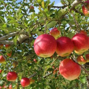 りんごが沢山あったので