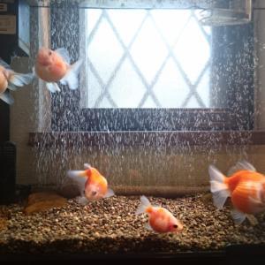 わが家の金魚
