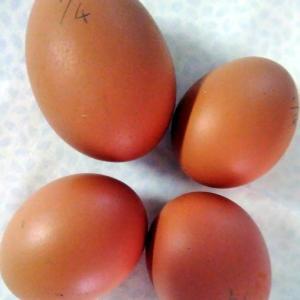 また巨大な卵が産まれた!