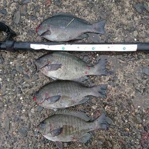浜名湖紀州釣りでまずまず釣果