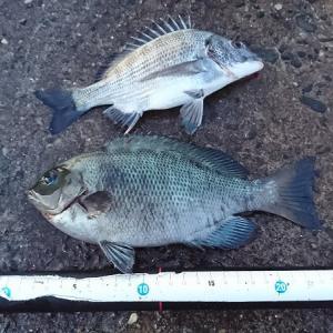 昼間の舞阪ウキダンゴ釣りはやっぱりアイゴに苦戦