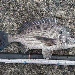 浜名湖ウキダンゴ 下げ潮の中 何とか小型釣れました