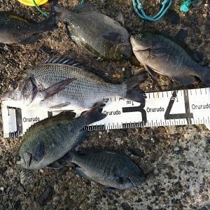 浜名湖ウキダンゴ 小型グレに混じってチヌ