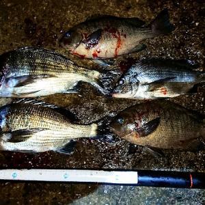 浜名湖ウキダンゴ まずまずのチヌ2匹
