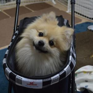 犬の格安ペットカート 動画付きの細かいレビュー