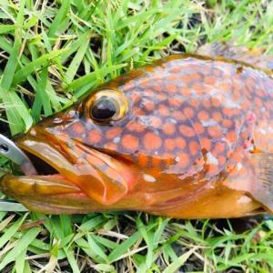 【ライトショアジギング】「本命が釣れない…」あれこれ試して夏の旬アコウ(キジハタ)を釣って来た!