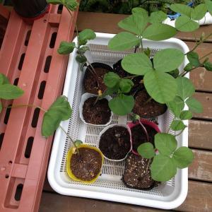 2020年8月1日 黒豆の苗を植え付ける