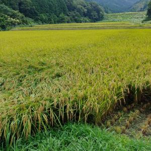 稲刈りをしてきました👒
