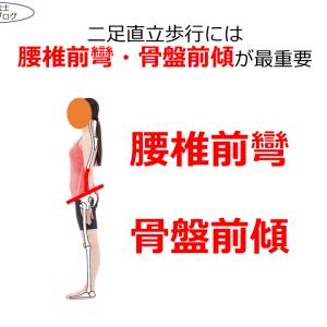 二足直立歩行には腰椎前彎・骨盤前傾が最重要‼