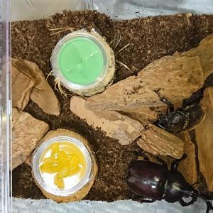 カブトムシ産卵セット