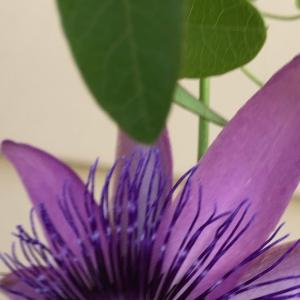 時計草が止まらない 咲きまくるトケイソウ   Passion flowers still in  bloom