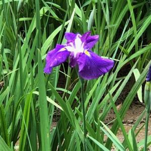 菖蒲とアヤメの違いを今頃確認しました   I at last understand the difference  between Shobu and Ayame (iris)