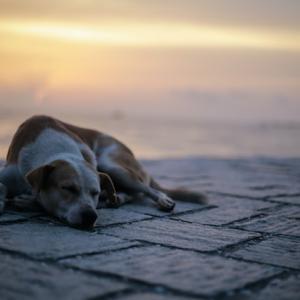 【フィリピンの日常】道をどかないフィリピンの犬