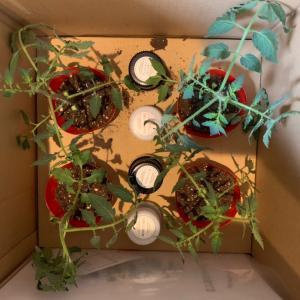 自主学習その後③: ゲノムトマトに花