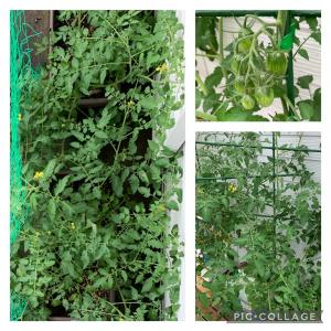 自主学習ゲノムトマト家庭栽培⑤: 伸び悩むトマトについ息子を重ねる母