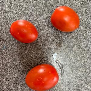ゲノムトマト家庭栽培記録⑥完