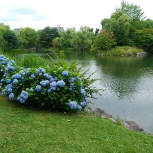 200725 中島公園 アジサイ
