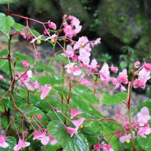 R3-9-26 雨に咲く花   秋海棠の声