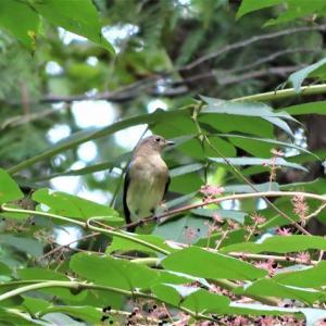 オオルリ若鳥とニューナイスズメとオンコの実。