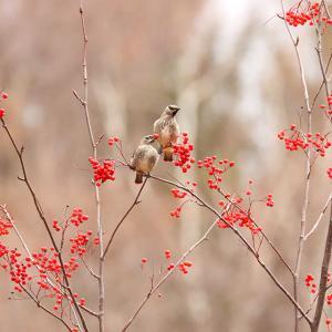 ヒレンジャクの若鳥。