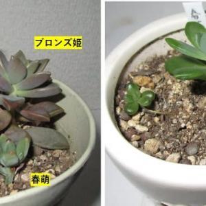 春萌とブロンズ姫 多肉植物だより12月
