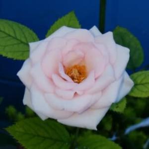 ミニバラ 二番花は小ぶりです 20210722