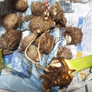 今週のお題「いも」:里芋収穫しました。