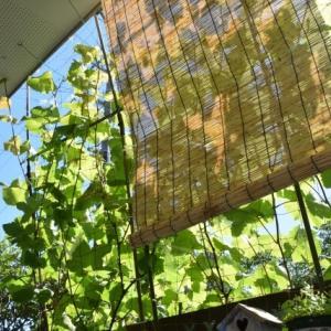 グリーンカーテンの節電効果は?ゴーヤやアサガオでエアコン効果を高めよう